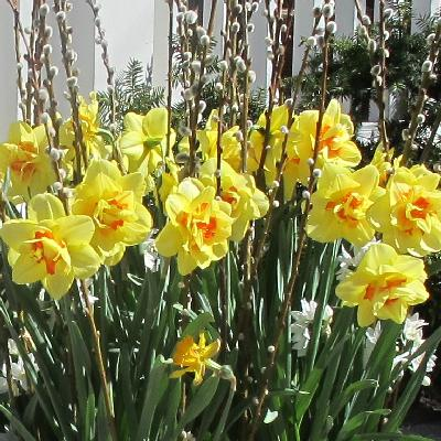 Spring Daffodil Planters Image
